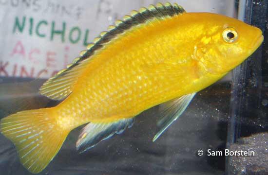 Labidochromis caeruleus  Labidochromis c...