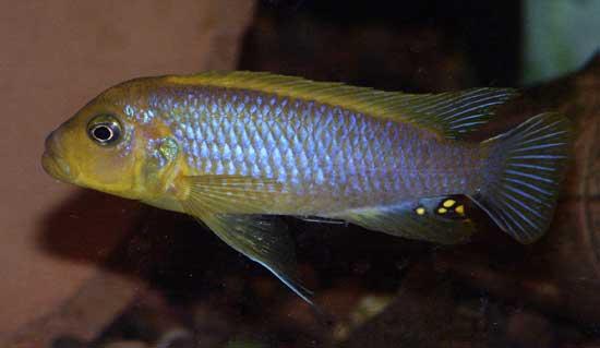Above: A male Metriaclima sp.