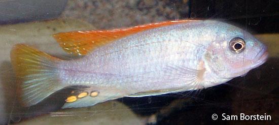Above: A male Metriaclima mbenji . Photo by Sam Borstein.