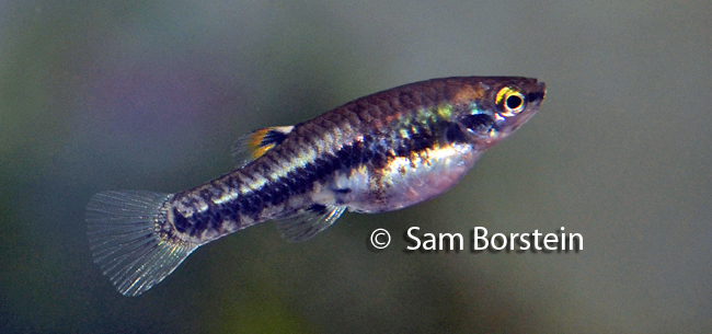Above: A female Heterandria formosa . Photo by Sam Borstein.