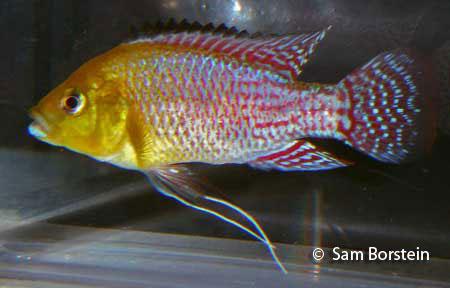 Above: A male Pseudocrenilabrus nicholsi . Photo by Sam Borstein.