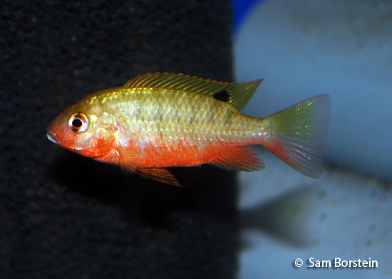 Above: A female Tilapia snyderae . Photo by Sam Borstein.